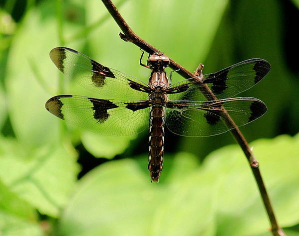 Dragonfly Art Print featuring the photograph Hang On by Rosanne Jordan