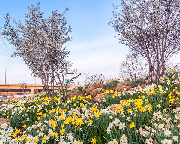 America Art Print featuring the photograph Daffodil Hill by Susan Cole Kelly