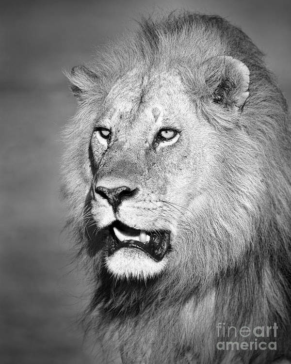 Male Art Print featuring the photograph Portrait Of A Lion by Richard Garvey-Williams