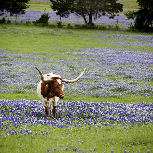 Longhorns Art Print featuring the photograph Longhorns Series No. 4 by Linda Lee Hall