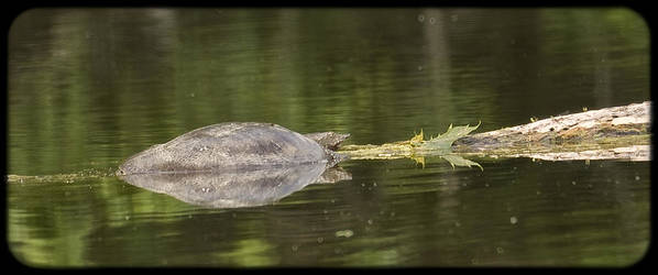Turtle Art Print featuring the photograph 062114-4 by Mike Davis