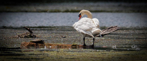 Swan Art Print featuring the photograph 061016-59 by Mike Davis