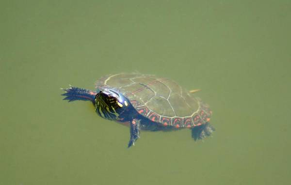 Turtle Art Print featuring the photograph 091709-229 by Mike Davis