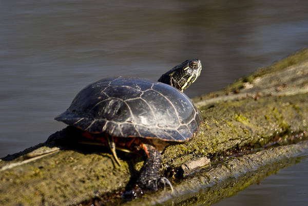 Turtle Art Print featuring the photograph 042314-66 by Mike Davis