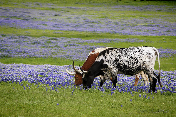 Longhorns Art Print featuring the photograph Longhorns Series No. 6 by Linda Lee Hall