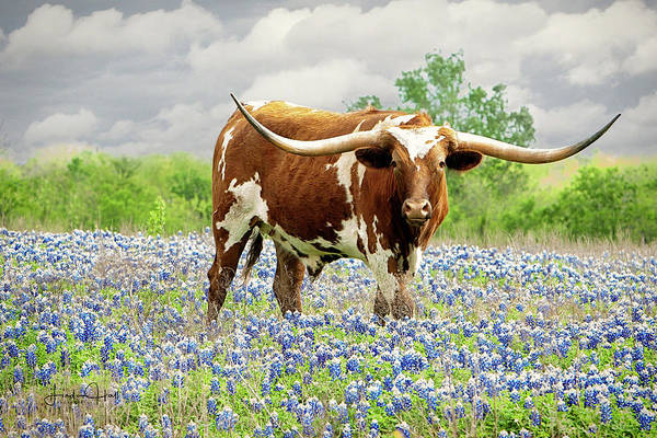 Longhorn Art Print featuring the photograph Mr. T in the Bluebonnets by Linda Lee Hall