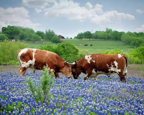 Longhorn Art Print featuring the photograph Another Confrontation by Linda Lee Hall