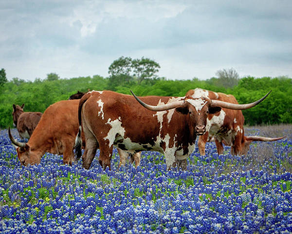 Longhorn Art Print featuring the photograph Mr. T and the Crew by Linda Lee Hall
