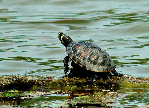 Turtle Art Print featuring the photograph 052511-50 by Mike Davis