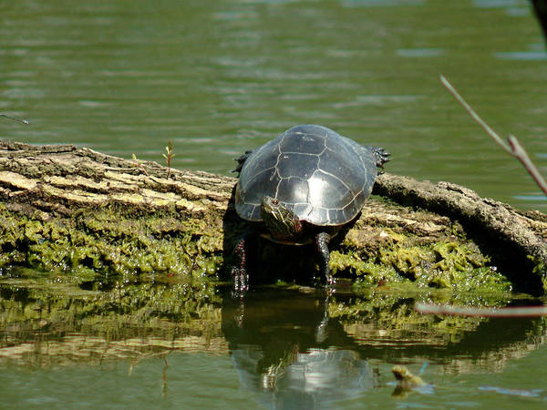 Turtle Art Print featuring the photograph 072910-1 by Mike Davis