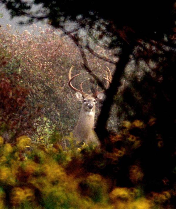 Deer Art Print featuring the photograph 070406-65 by Mike Davis