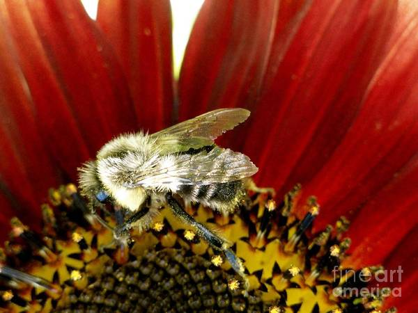 Bee Art Print featuring the photograph Bee Tip Toes by Trish Hale