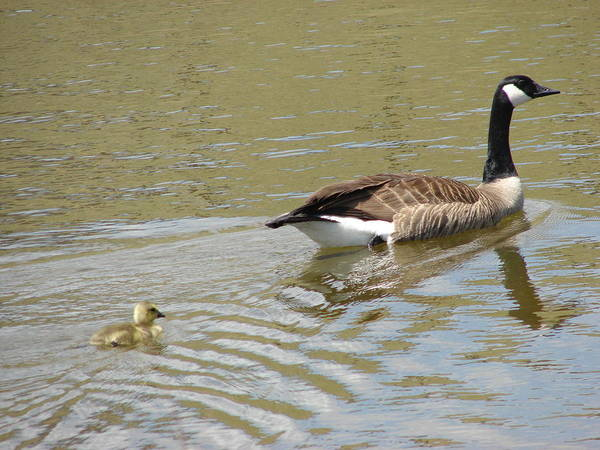 Geese Art Print featuring the photograph Hey Mom Wait For Me by Phyllis Britton