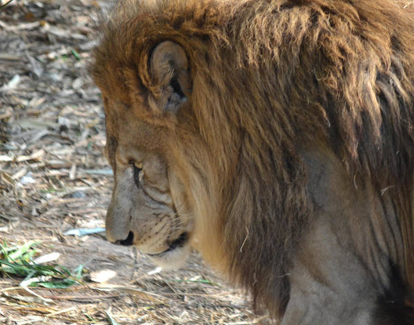 Lion Art Print featuring the photograph Le Lion by Maggy Marsh