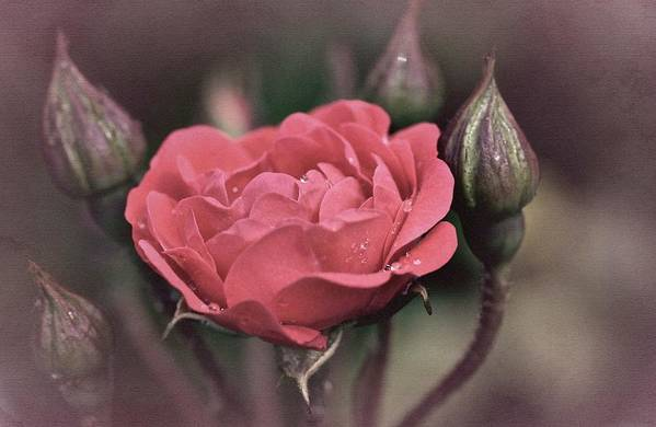 Rose Print featuring the photograph Vintage Rose No. 4 by Richard Cummings