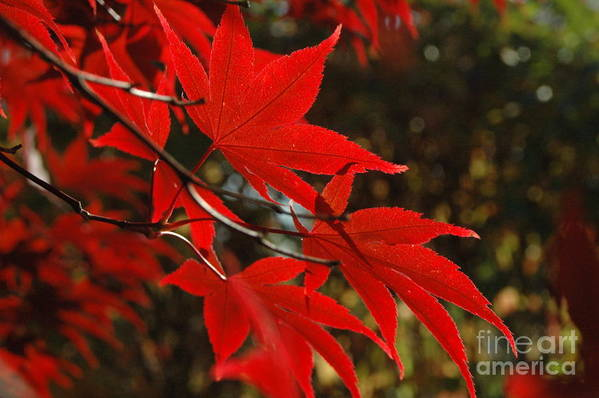 Leaves Art Print featuring the photograph Finer Points Of Red by Trish Hale
