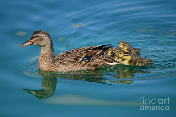 Florida Wildlife Art Print featuring the photograph New Family Ducks by Janie North
