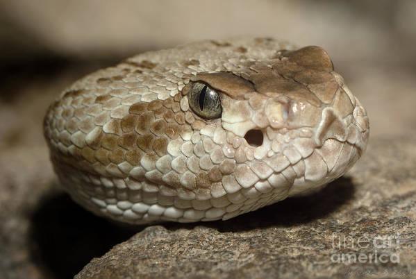 Blacktail Art Print featuring the photograph Blacktail Rattlesnake by Warren Sarle