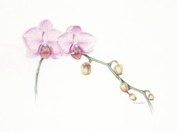 Orchid Art Print featuring the pastel Orchid Hybrid Phalaenopsis Gan Lin Passion by Kirk Zimmerman