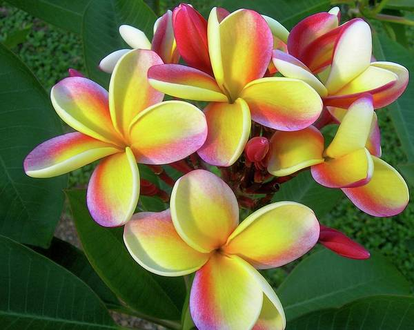 Plumeria Art Print featuring the photograph Candy Stripe Plumeria by James Temple