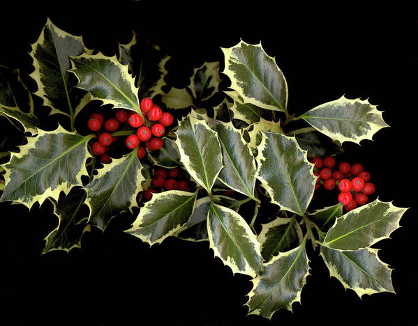 Art Print featuring the photograph Holly by Sandi F Hutchins