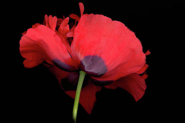 Red Poppy Art Print featuring the digital art RED Poppy by Sandi F Hutchins