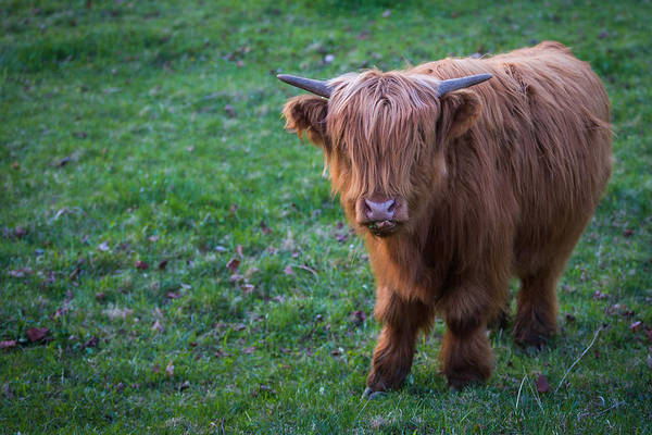 Cow Art Print featuring the photograph Highland Cattle by Nathan Larson