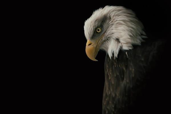 Bald Eagle Art Print featuring the photograph Bald Eagle II by Nathan Larson