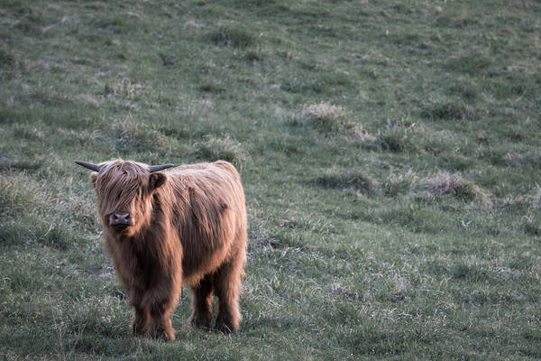 Cows Art Print featuring the photograph Highland Cattle by Nathan Larson