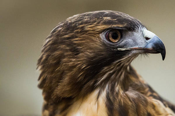 Bird Art Print featuring the photograph Red Tailed Hawk by Nathan Larson