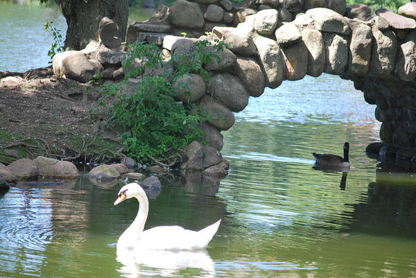 Swan at Heckscher State Park by Celeste Tyree