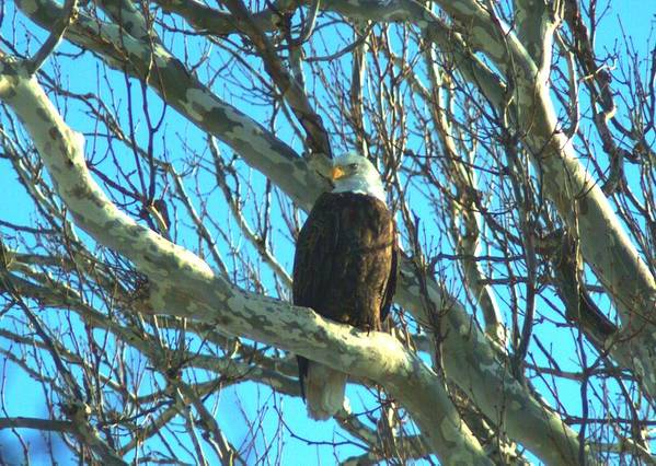 Eagle Art Print featuring the photograph 020609-57 by Mike Davis