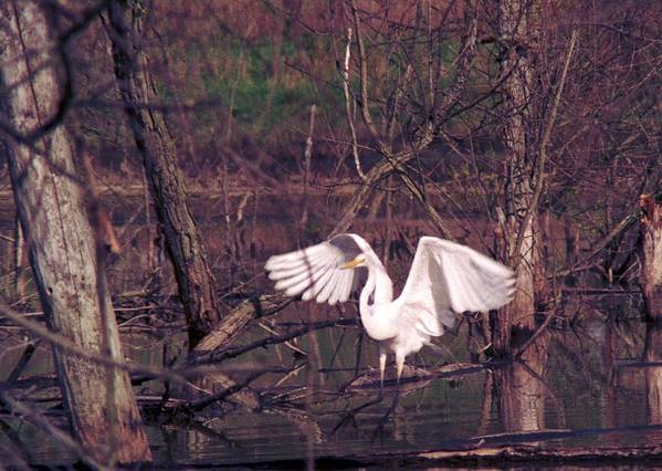 Egret Art Print featuring the photograph 070406-22 by Mike Davis