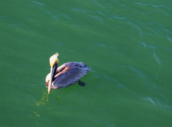 Pelicans Art Print featuring the photograph In Love With The Green Earth. by E Luiza Picciano