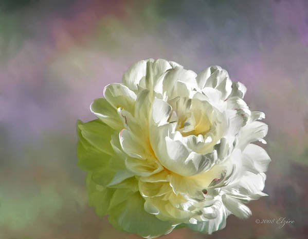 White Peony Art Print featuring the painting Lacy by Elzire S