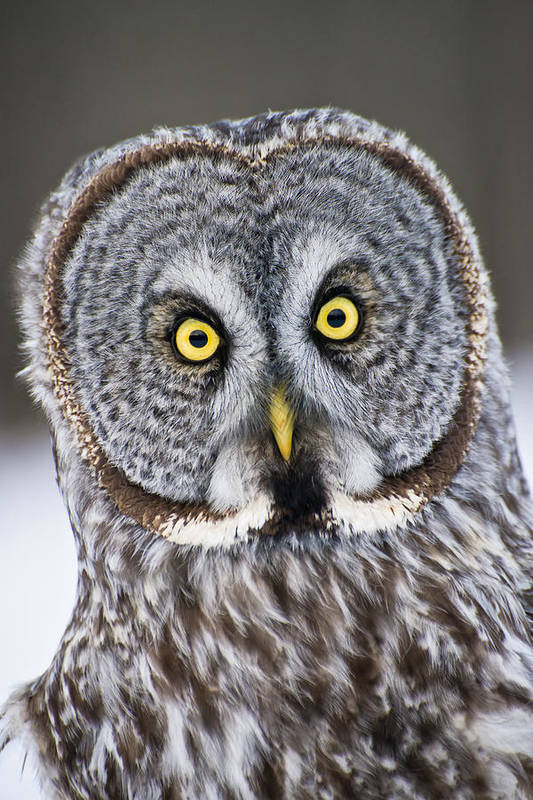 Great Grey Owl Art Print featuring the photograph Great Grey Owl Pictures 41 by Owl Images