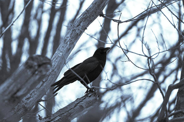 Crow #2 by Kevin Celentano