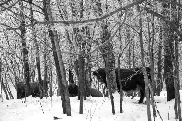 Cows Art Print featuring the photograph Snowy Day by Jessica Wakefield