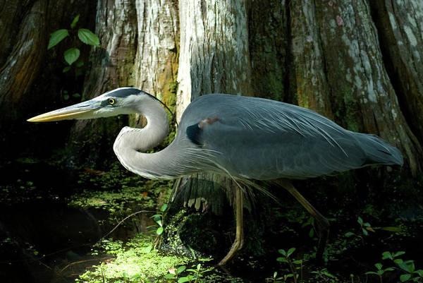 Bird Art Print featuring the photograph Wading Bird by Jessica Wakefield