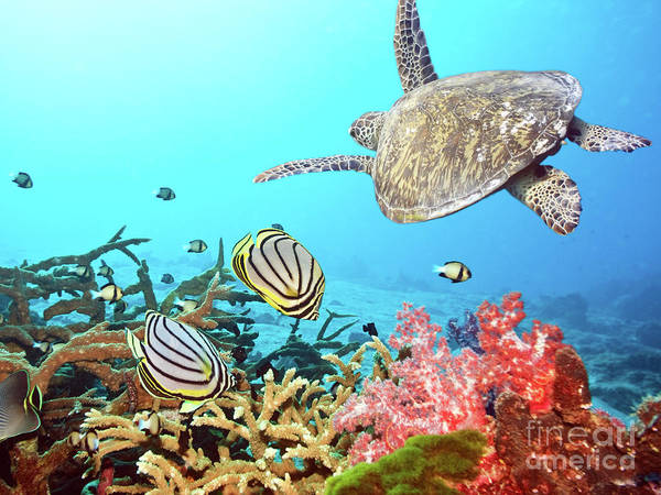Butterflyfishes and turtle by MotHaiBaPhoto Prints
