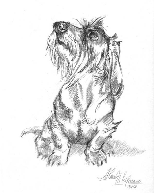 Young wire-haired dachshund looking up by Alena Nikifarava