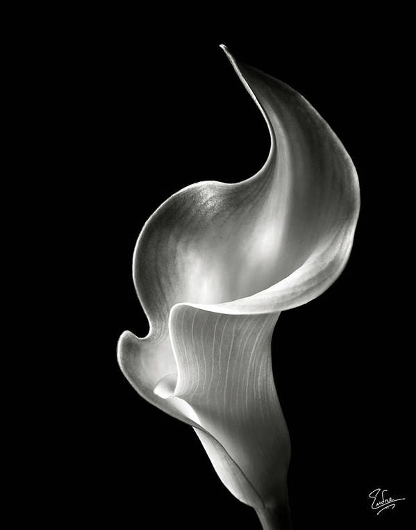 Flame Calla Lily in Black and White by Endre Balogh