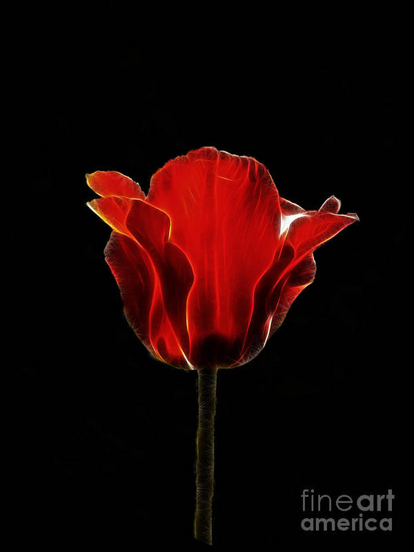Flower Art Print featuring the photograph Bright Red Tulip by Steev Stamford