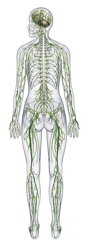 Anatomical Art Print featuring the photograph Nervous System, Illustration by Raj Dashi / Dorling Kindersley