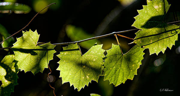 Grape Art Print featuring the photograph Wild Grape Leaves by Christopher Holmes