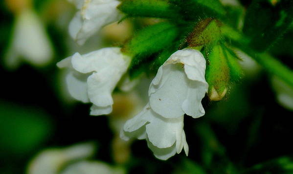 White Buds Art Print featuring the photograph White Buds by Patrick Short