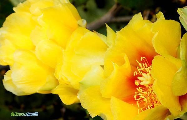 Everett Spruill Art Print featuring the photograph Cactus Bloom 1 by Everett Spruill