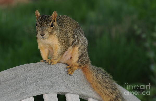 Squirrel Art Print featuring the photograph Squirrel by Patrick Short