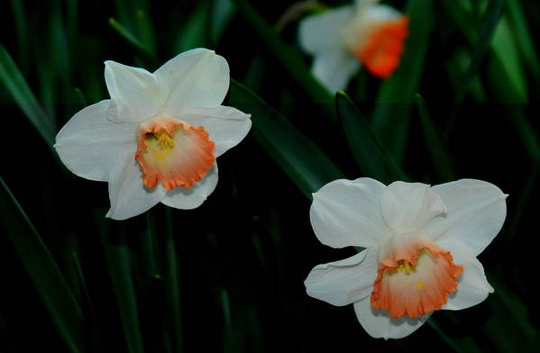 Daffodils Art Print featuring the photograph Daffodils by Patrick Short
