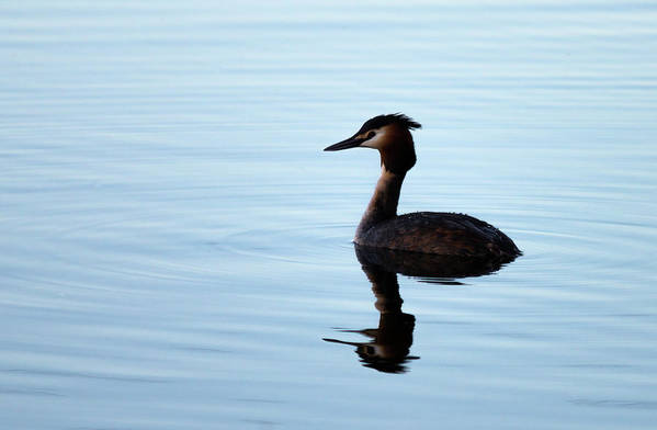 Great Crested Grebe Art Print featuring the photograph Great Crested Grebe by Claire Wilson